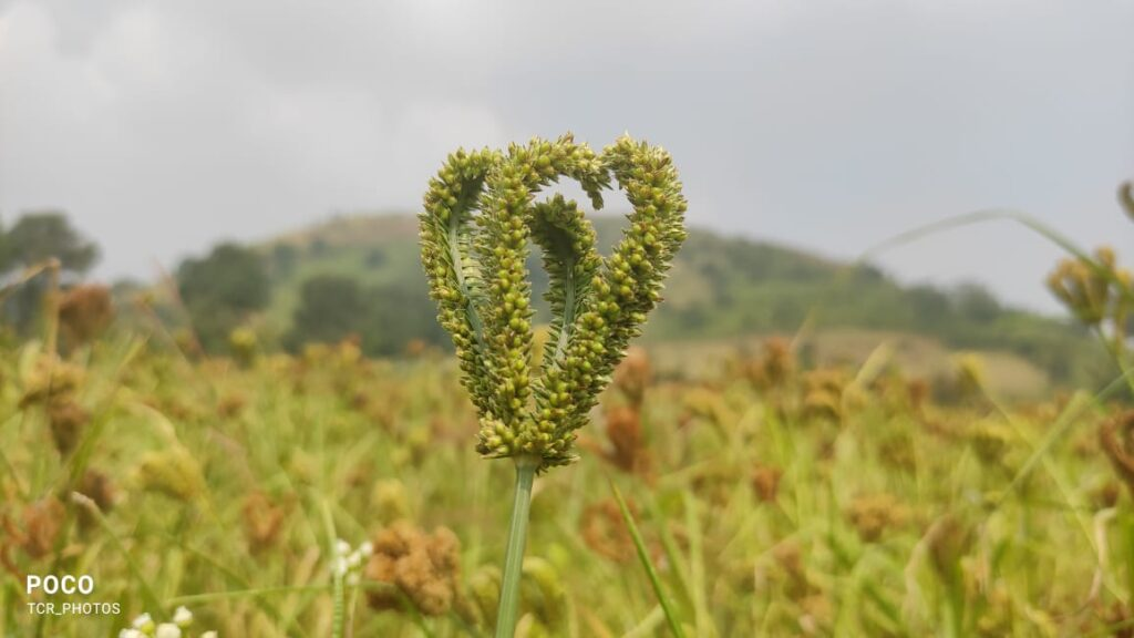 What is millet