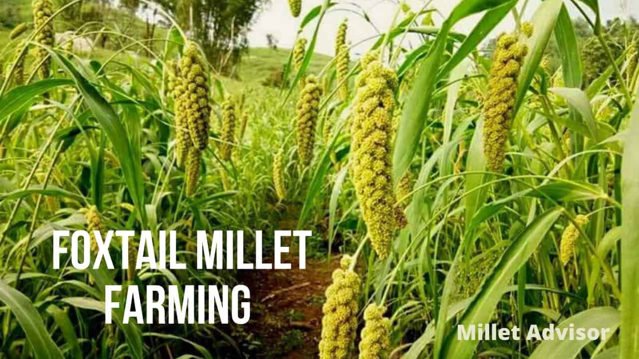 Foxtail Millet Farming