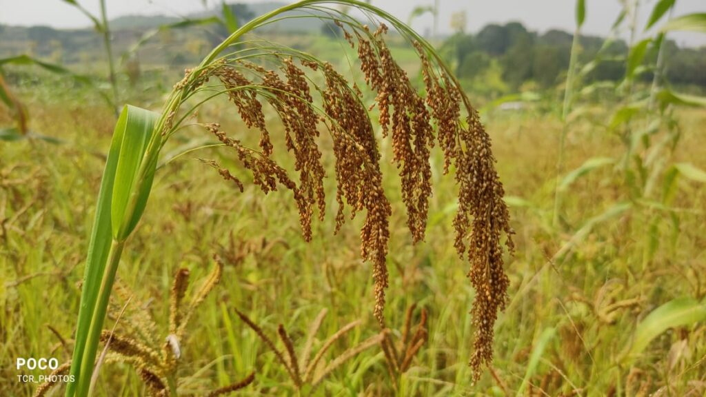 role of miracle millets